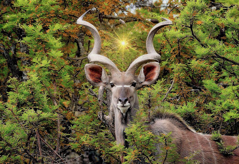 Kudu - Copy